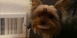cachorrinho-rouba-a-dentadura-do-seu-dono-e-e-autuado-em-flagrante