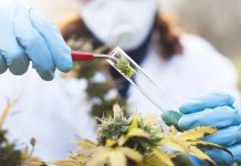 cannabis-e-mais-eficaz-na-prevencao-e-tratamento-da-covid-19-do-que-hidroxicloroquina