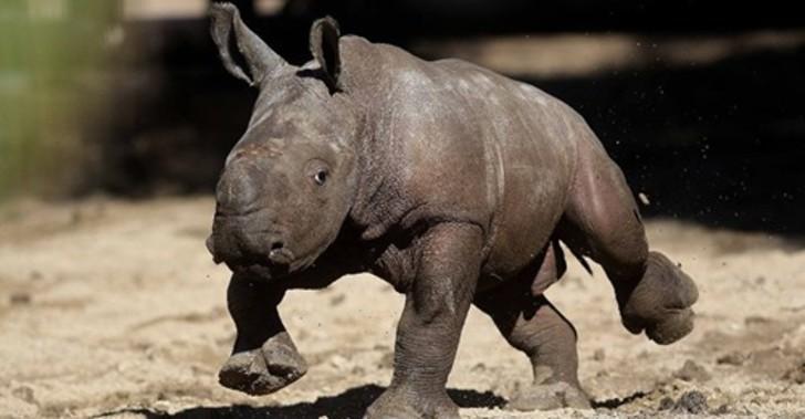 rinoceronte-branco