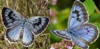 apos-150-anos-uma-estranha-especie-de-borboleta-reaparece