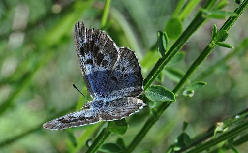 borboleta-azul.3jpg