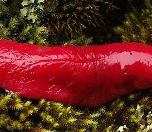 o-caracol-rosa-australiano-foi-salvo-da-extincao-incendios-ameacavam-seu-unico-habitat