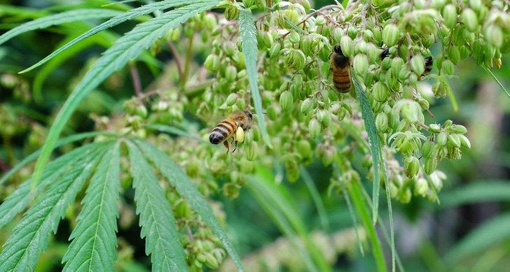 abelhas-cannabis