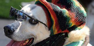 estudo-descobre-que-o-estilo-de-musica-referido-dos-caes-e-o-reggae