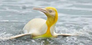 pinguim-amarelo-e-registrado-pela-primeira-vez-na-historia