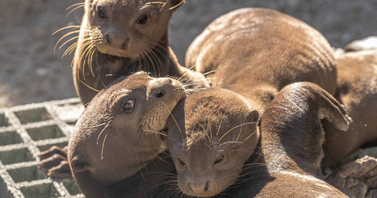 filhotes-de-lontra-ameacados-de-extincao-nascem-em-um-zoologico-dos-eua